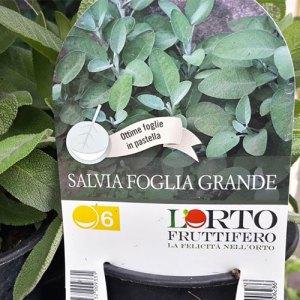 Piantina di Salvia- Certaldo