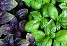 Полезный базилик: важные детали о растении