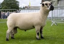 Лучшие породы овец мясного направления