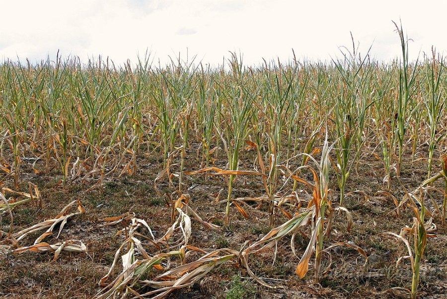 Von diesem Mais werden keine Kühe satt.
