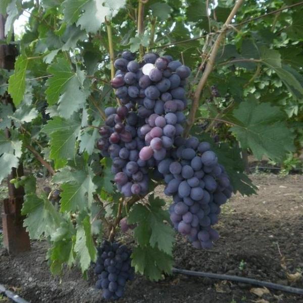 Виноград фуршетный: описание сорта, фото, отзывы - Агро Мастер