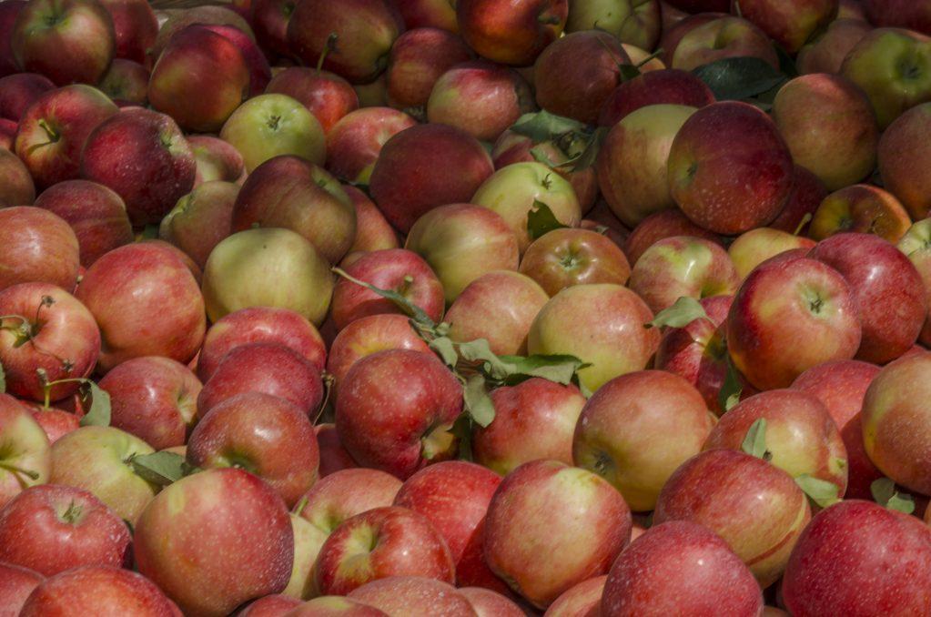 Bin of fresh apples