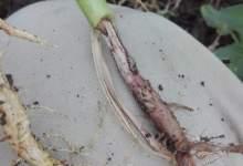 Photo of اعفان الجذور .. أنواعها ومحاذير انتشارها وافضل مبيداتها ( ملف شامل )
