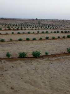 امراض التربة والمجموع الجذري