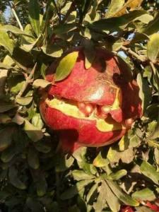 تشقق ثمار الرمان