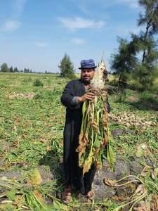 البورون من أهم العناصر المحددة لنجاح زراعة البنجر