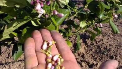 Photo of تساقط الأزهار والثمار .. أسباب وحلول