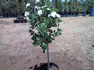 الوصف النباتى للجاردينيا