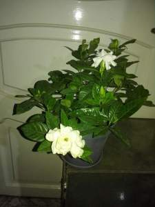 نبات الجاردينيا