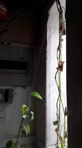 موت نبات داخلي
