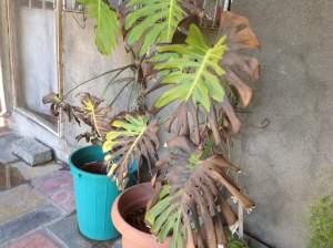 احتراق غير طبيعي لنبات القفص الصدري