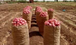حصاد البصل