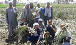 موسم حصاد الثوم في مصر