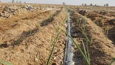 Photo of زراعة الثوم بالتنقيط فى الاراضى الصحراوية