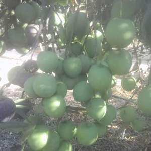 زيتون صنف تفاحي للتخليل الأخضر