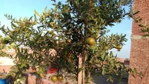 زراعة الاشجار المثمرة في المنزل