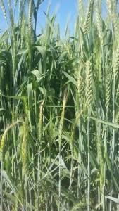 يختلف صنف القمح تبعاً للمنطقة المنزرع بها