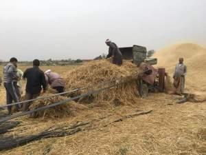 دراس القمح في مصر