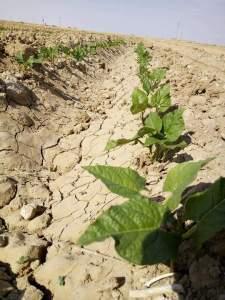 زراعة الفاصوليا في ارض صفراء