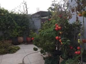 زراعة الطماطم فوق سطح المنزل