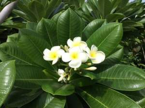 زهور ياسمين بيضاء
