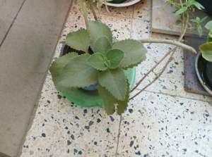 زراعة الزعتر في المنزل