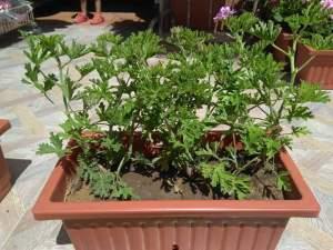 حوض زرع يتكون من نبات العطر فقط