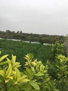 علاج اصفرار اوراق شجرة الليمون