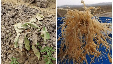 Photo of علاج النيماتودا وأعفان الجذور