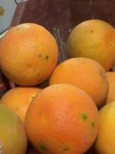 اعراض الاصابة بذبابة الفاكهة علي الموالح
