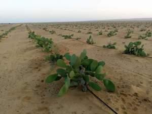 مسافات زراعة التين الشوكي