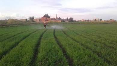 Photo of مواعيد رش البصل .. تبدأ قبل الزراعة تعرف عليها