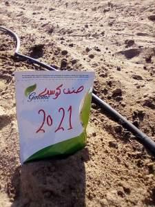 من اصناف الكوسة في مصر