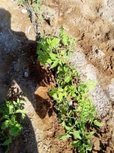 تأثير ملوحة التربة علي الطماطم