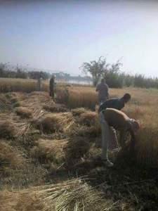 حصاد القمح فى مصر بالطريقة اليدوية
