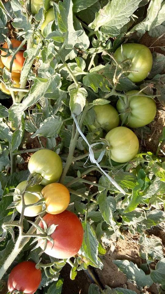 اسباب صغر حجم ثمار الطماطم .. وطرق التغلب عليها