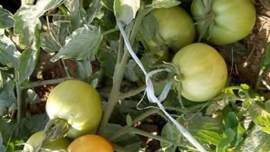 Photo of اسباب صغر حجم ثمار الطماطم .. وطرق التغلب عليها