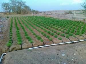 زراعة البونيكام بالتنقيط