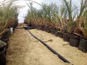 مشروع زراعة النخيل في مصر