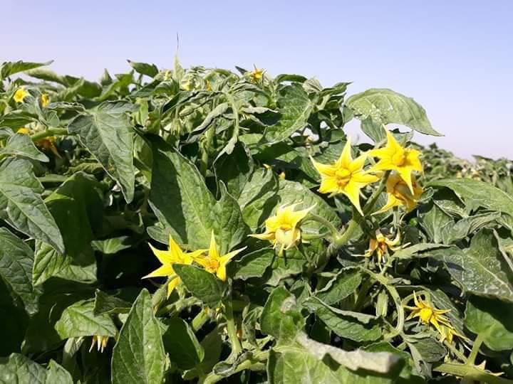 إرشادات مهمة لزيادة العقد والتزهير وتثبيت العقد في النبات