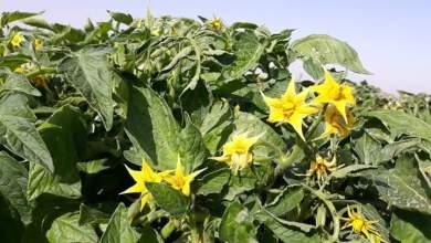 Photo of إرشادات مهمة لزيادة العقد والتزهير وتثبيت العقد في النبات