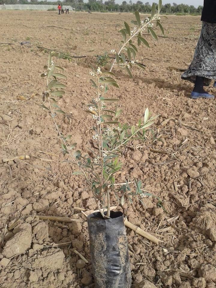 مواعيد زراعة الزيتون فى مصر