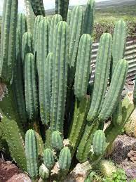 San Pedro Cactus (Echinopsis Pachanoi)