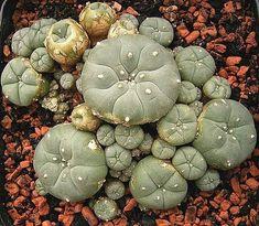 صبار لوفوفورا أو صبار بيوت Peyote Cactus (Lophophora Williamsii)