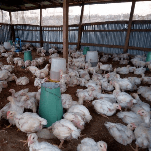broiler production in Nigeria