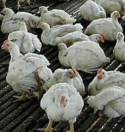 causes of mortality in poultry birds