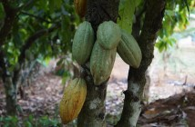 Profitable Cash Crops In Nigeria