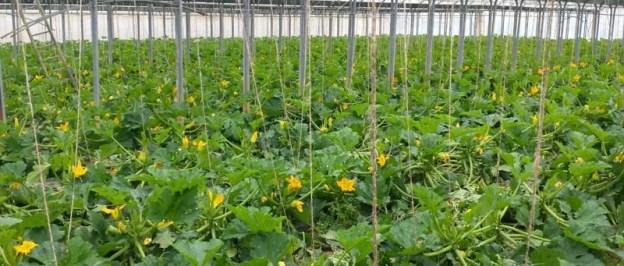 Zucchine e i loro fiori