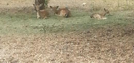 bambis-1
