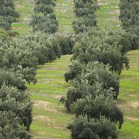 Olivares con hierba